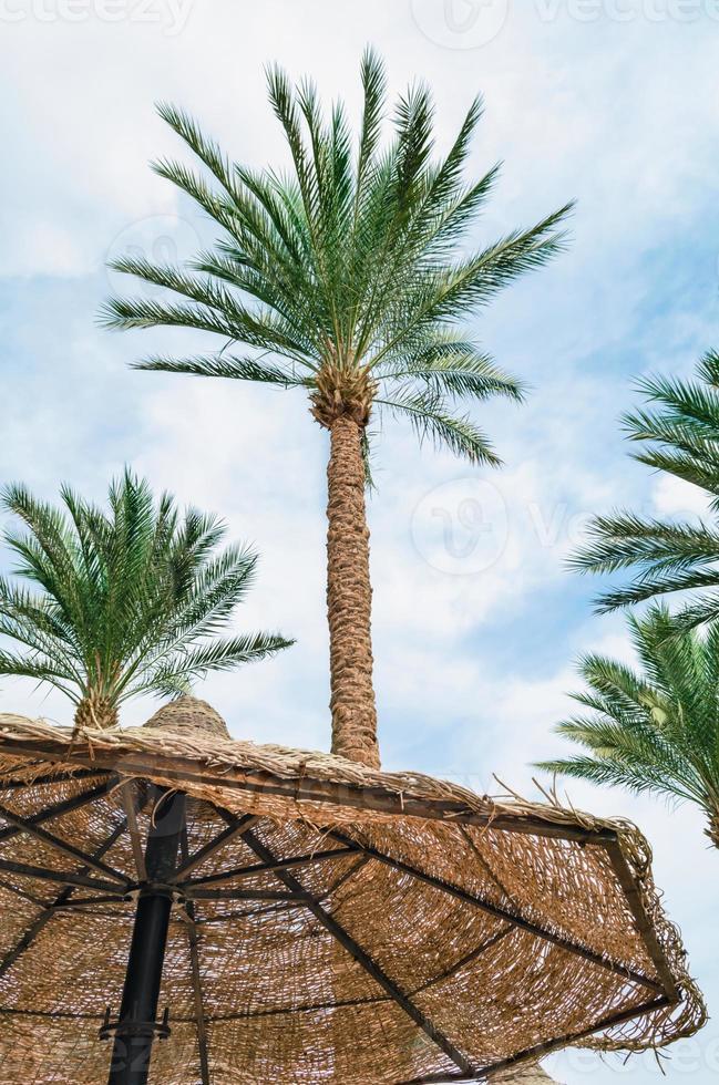 Palm trees and umbrella photo