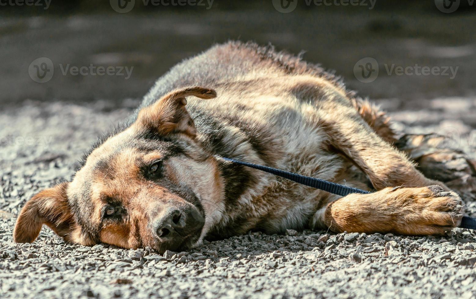 perro tendido sobre grava foto
