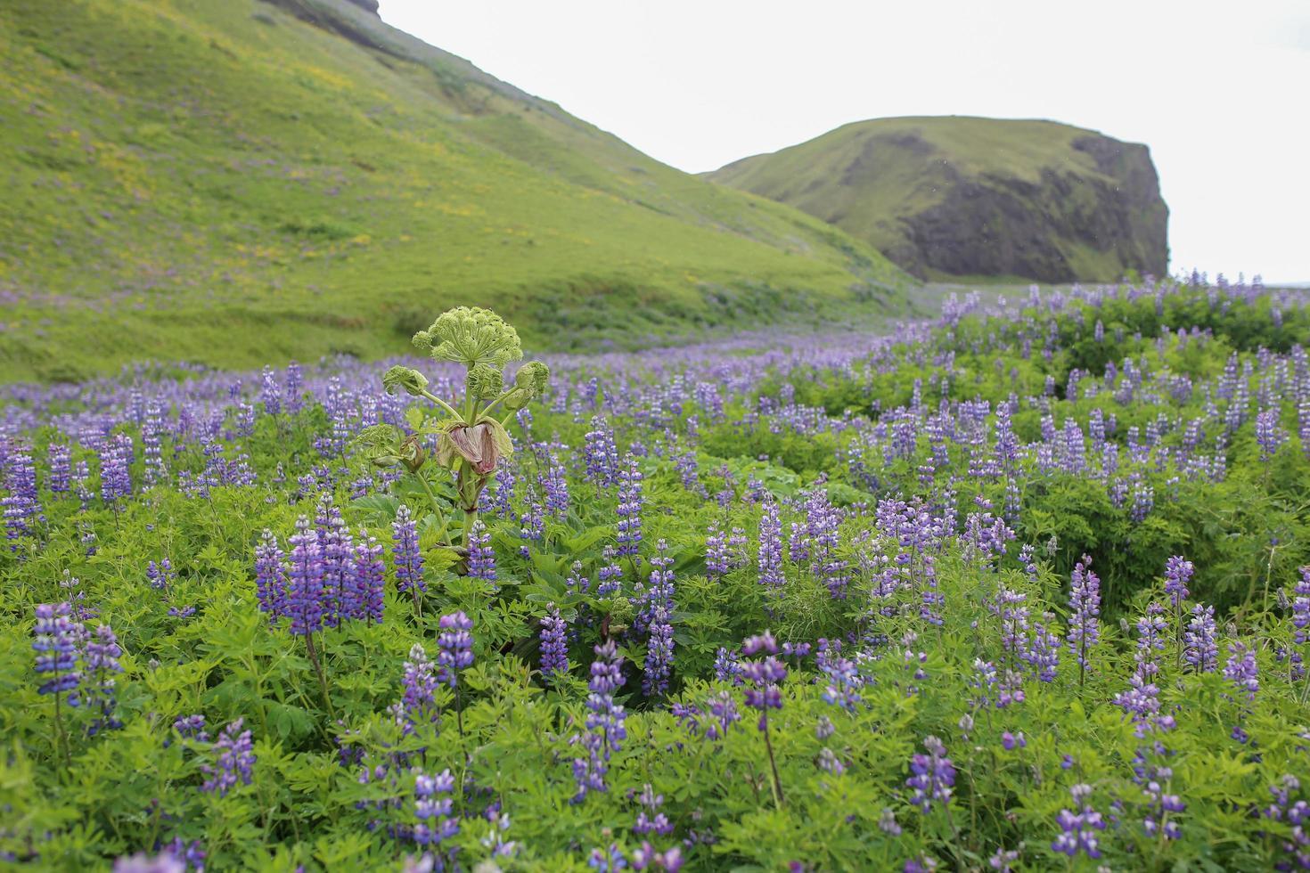 Purple wild flowers in Vik, Iceland photo