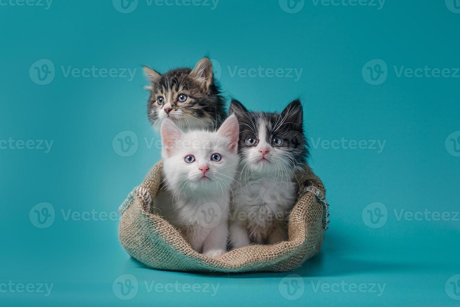 tres gatitos en un saco foto