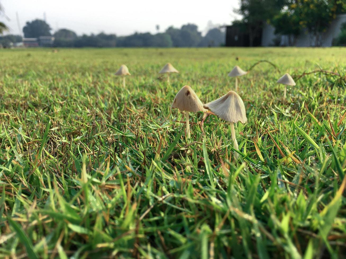 Selective focus on the mushrooms grow from the grass field at the backyard photo