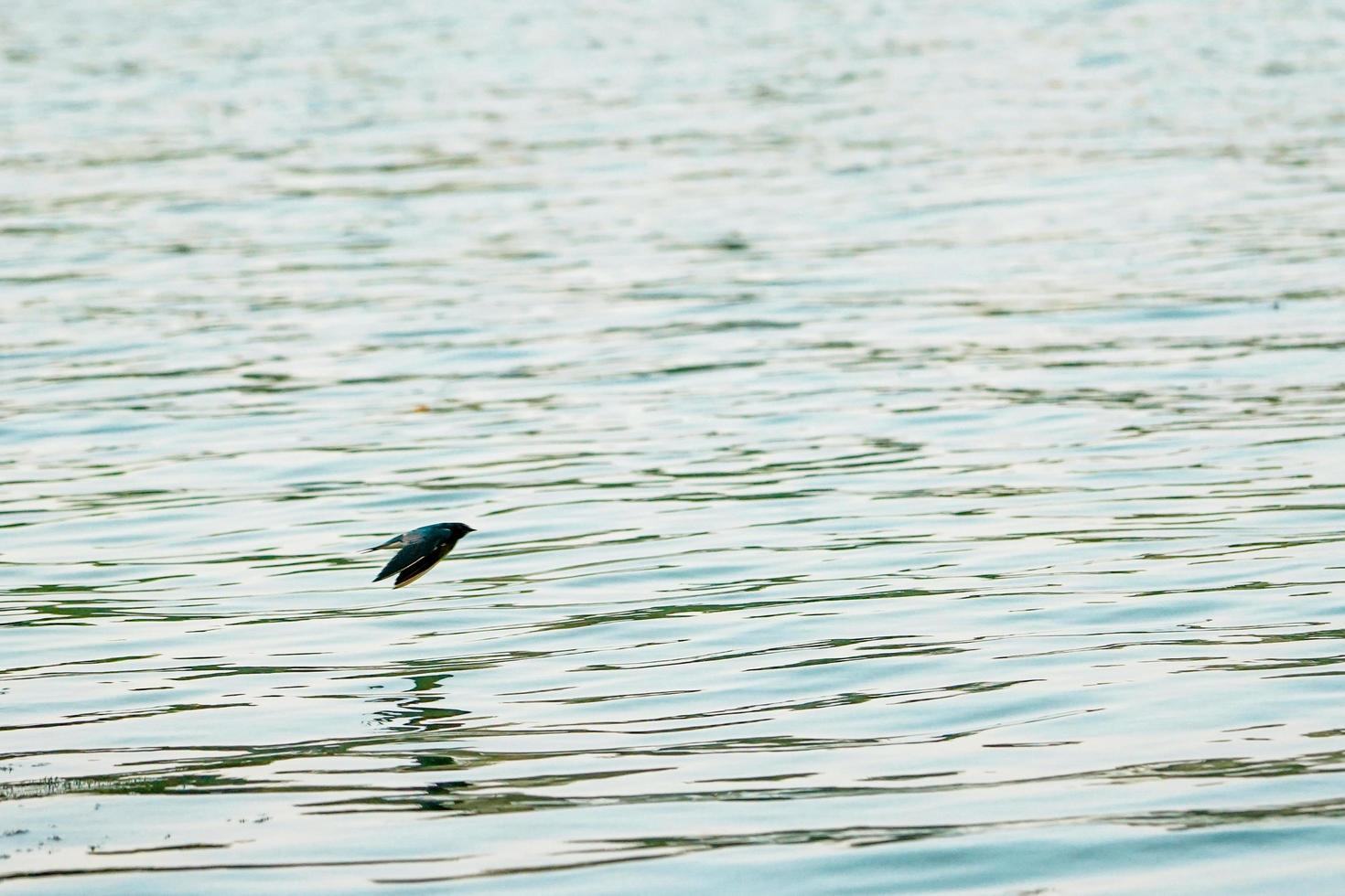 Motion blurred little bird flying over the surface of the river photo