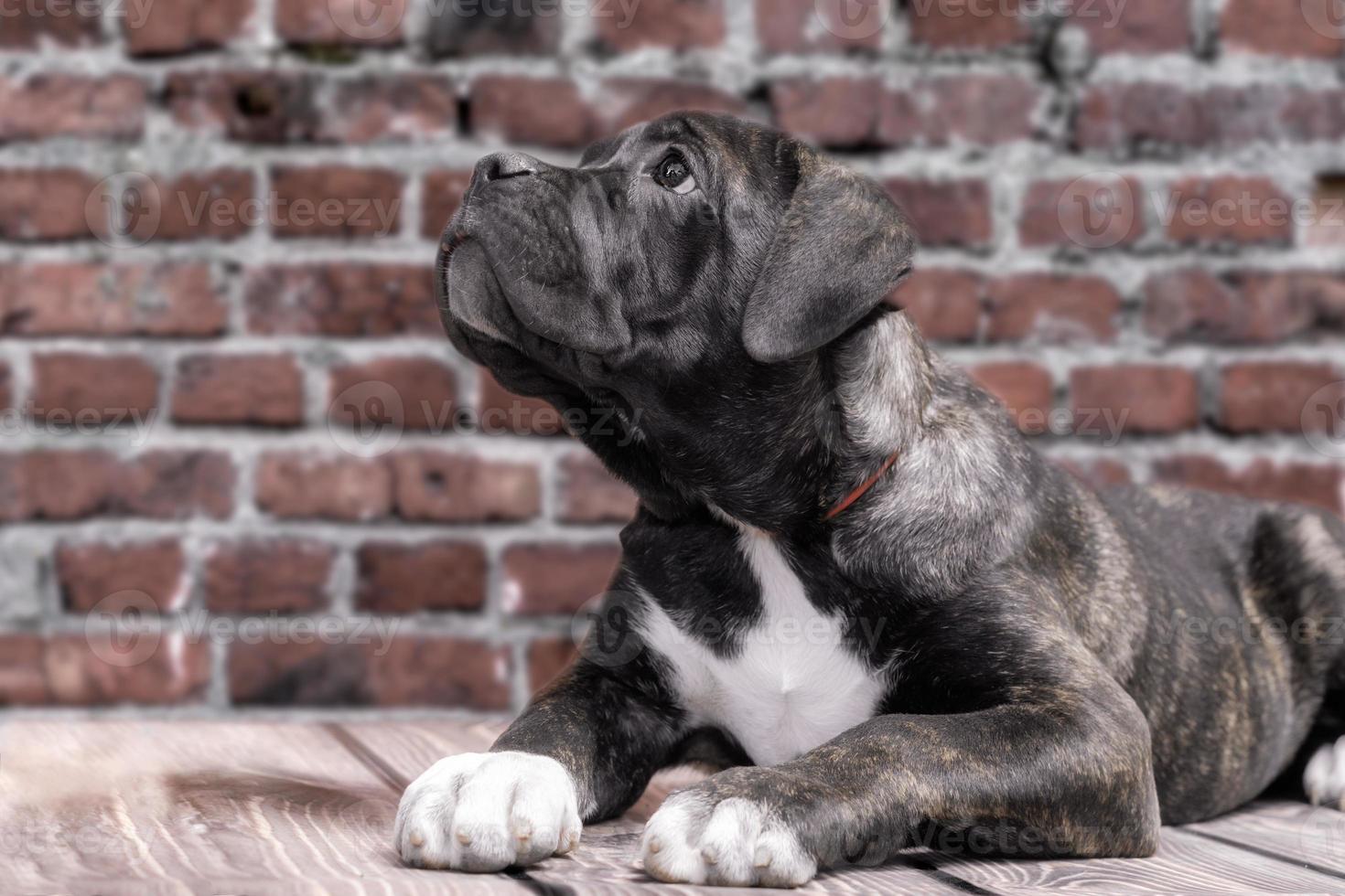 Cachorro blanco y negro con un fondo de pared de ladrillo foto