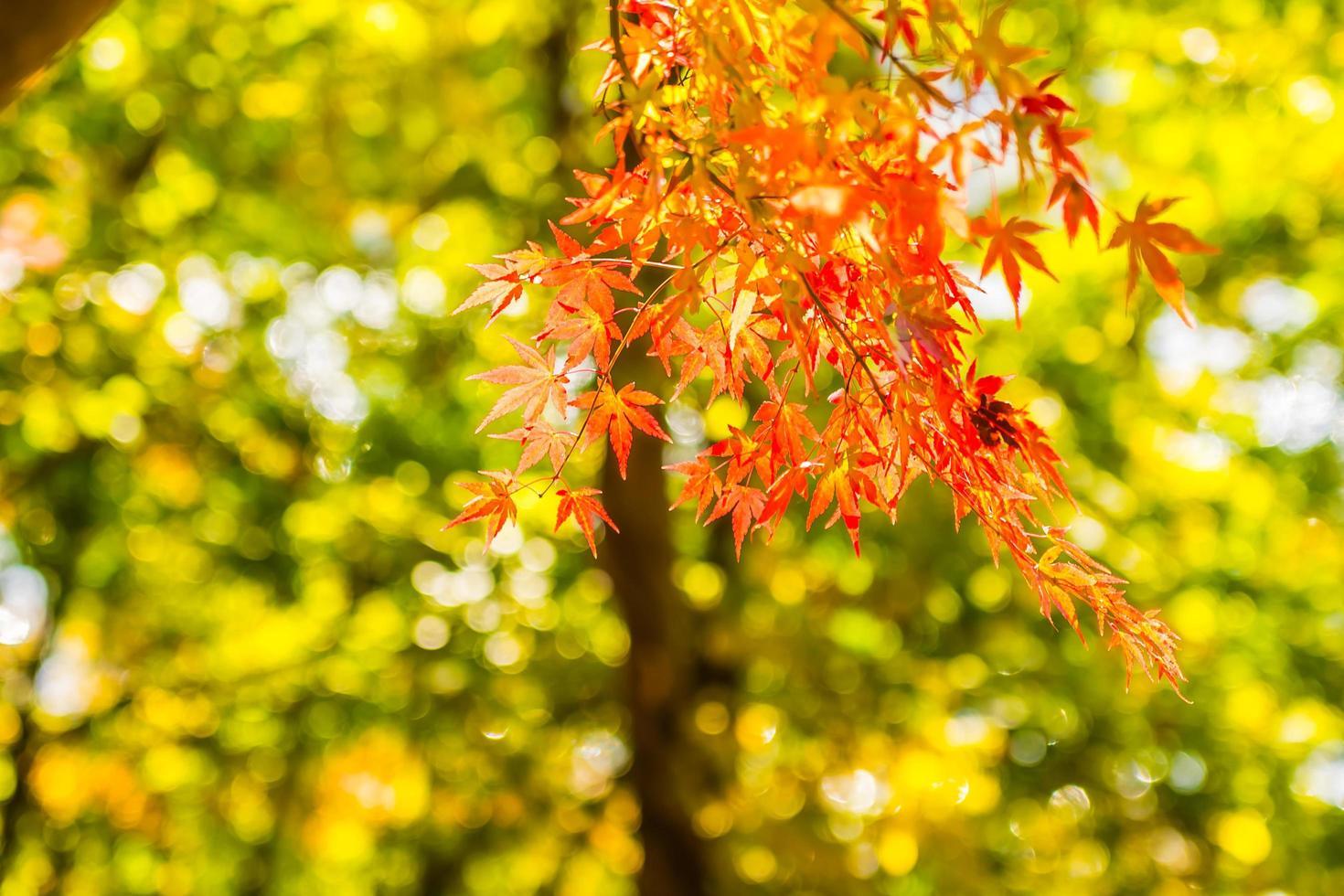 hermosa hoja de arce roja y verde en el árbol foto