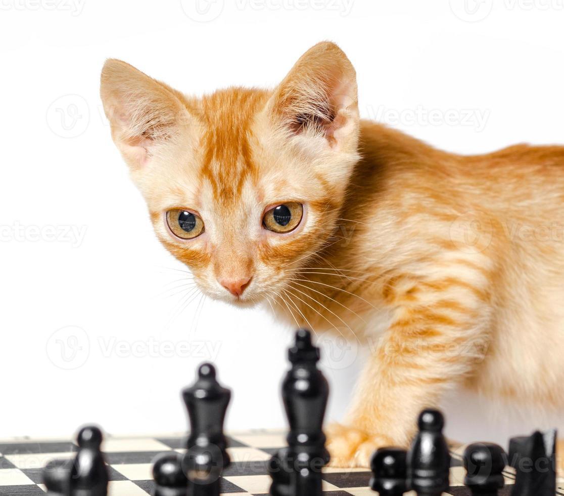 Atigrado naranja con tablero de ajedrez foto