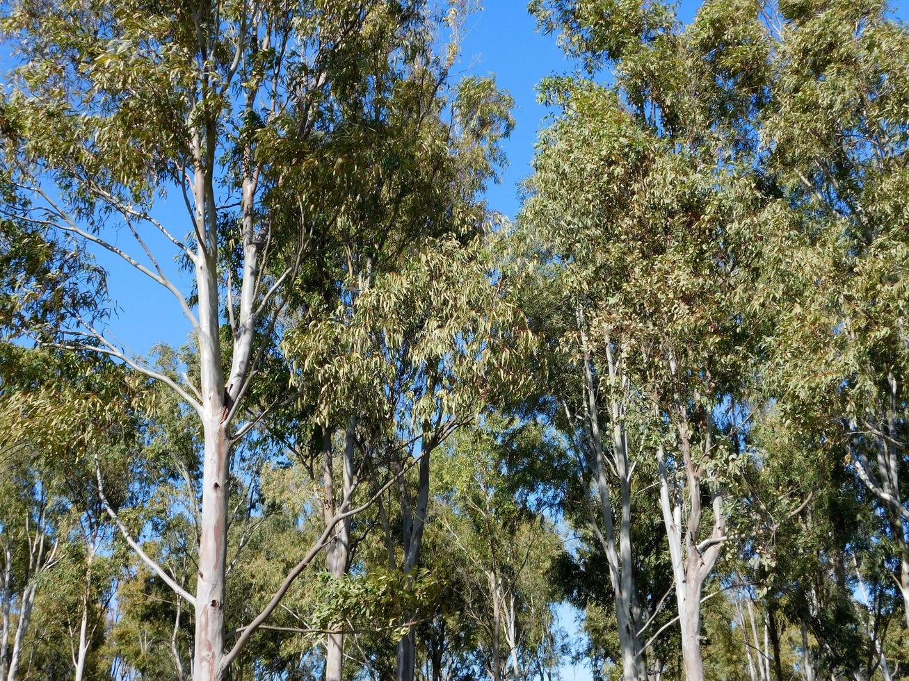 Trees against a clear blue sky photo