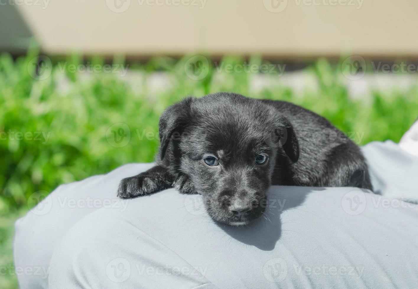 Puppy in a lap photo