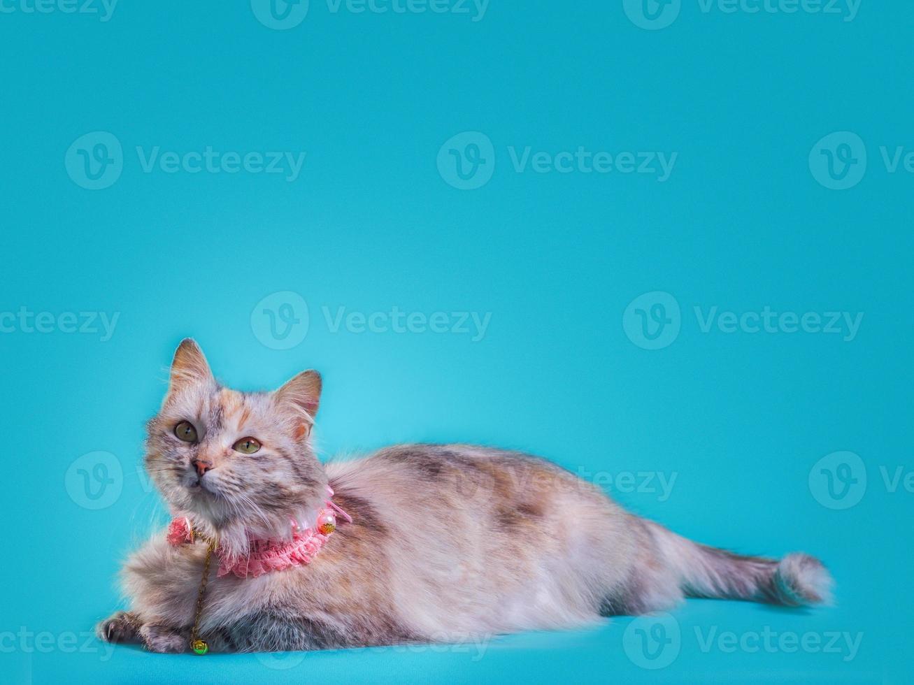 Medium hair cat on a blue background photo
