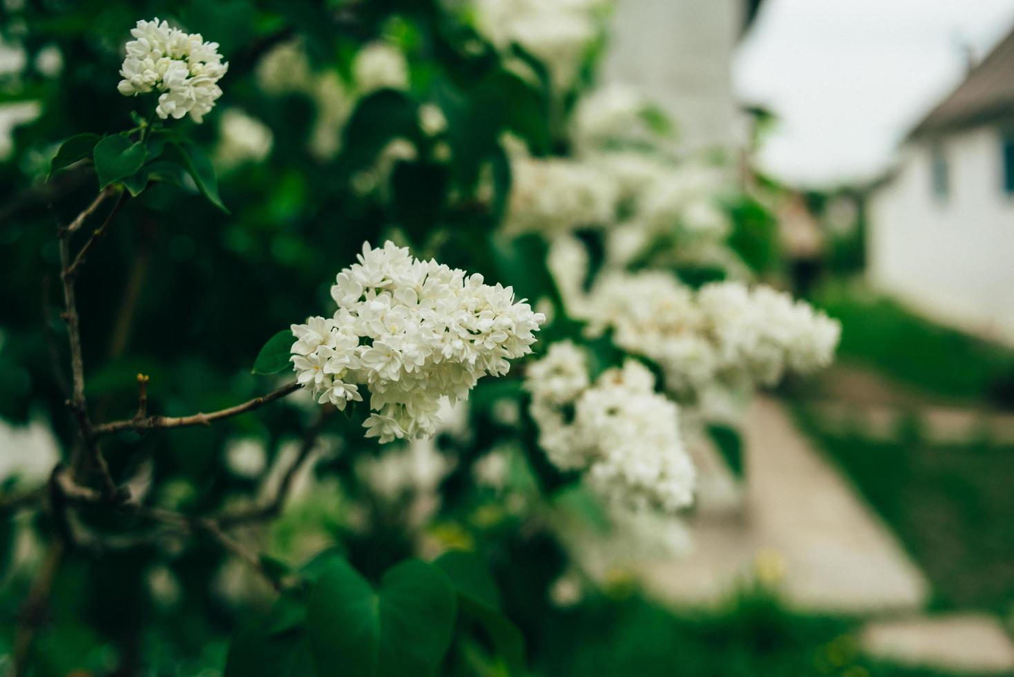 Branch of white lilac photo
