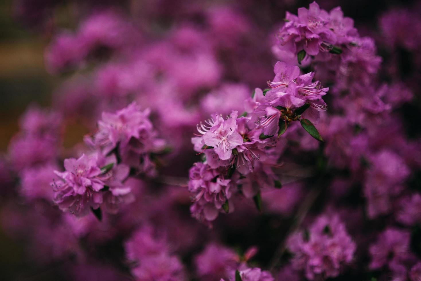 Violet lilac bush photo