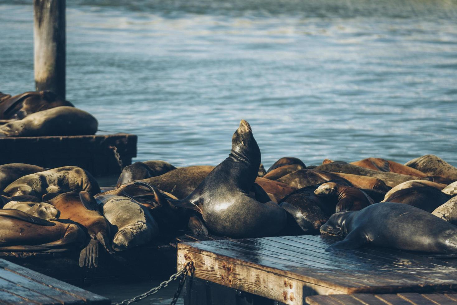 Group of sealions photo