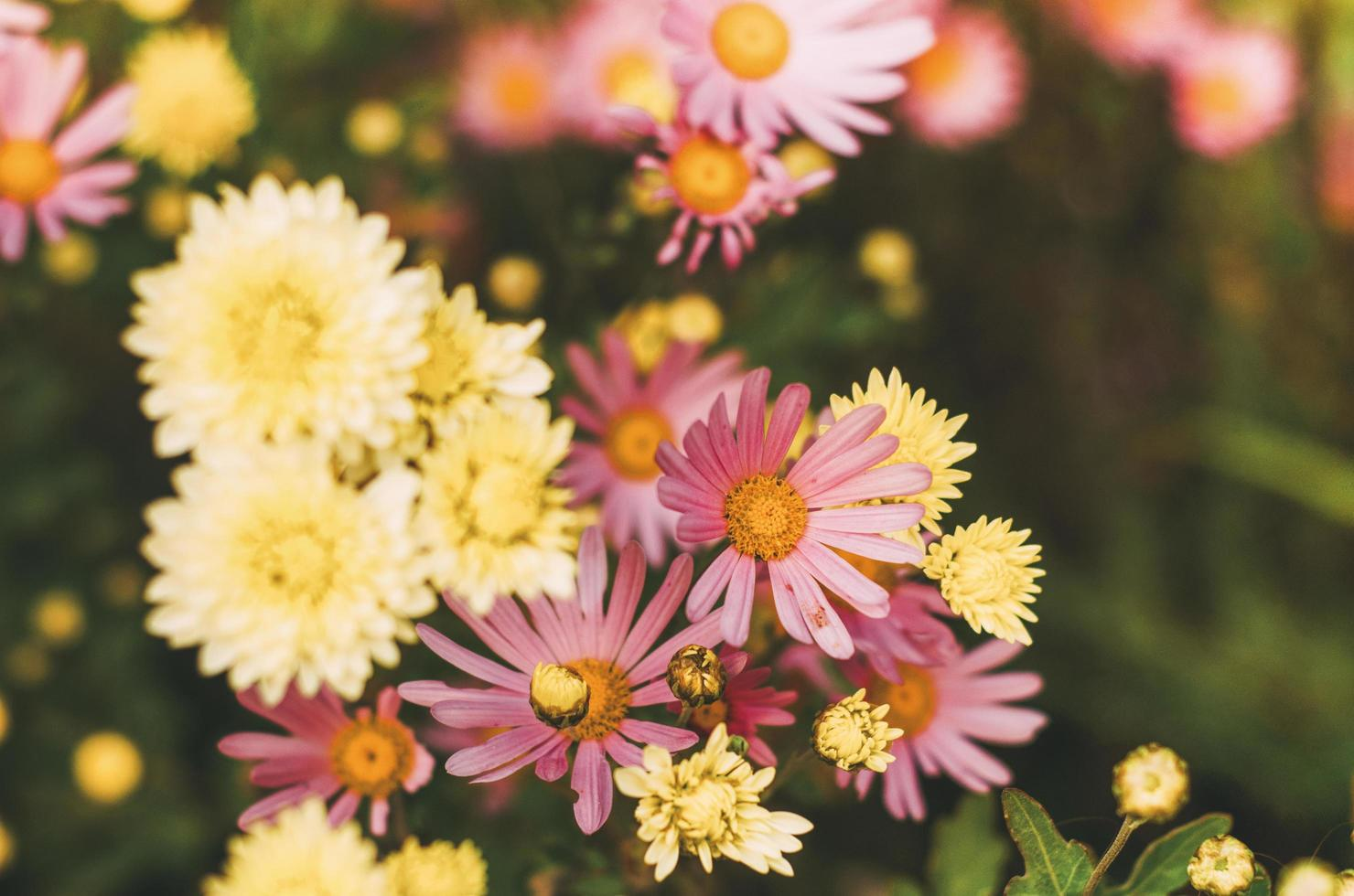 Colorful daisy flowers photo