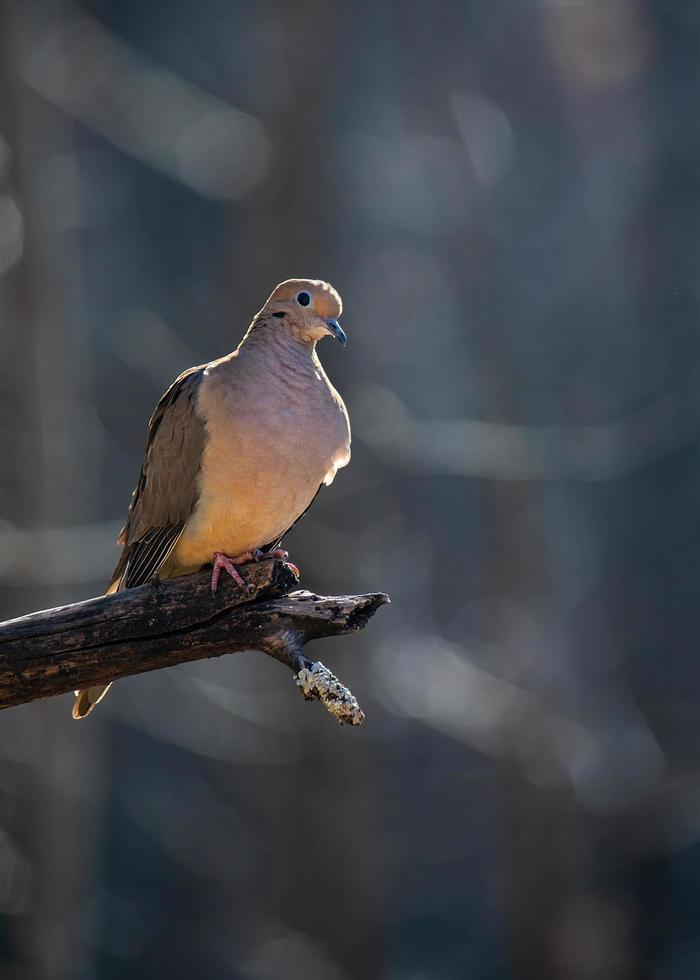 Perching mourning dove outlined by afternoon sun photo