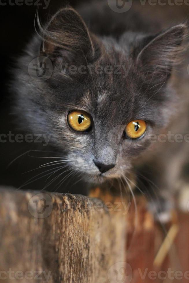 Beautiful gray cat. Gray kitten with piercing eyes looking. Selective focus. photo