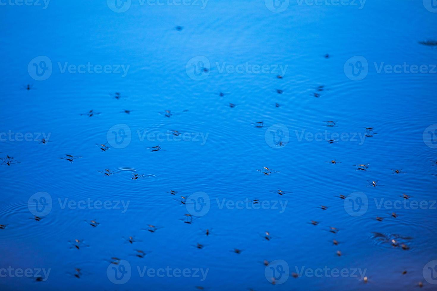 Mosquitoes on the surface of the blue water photo
