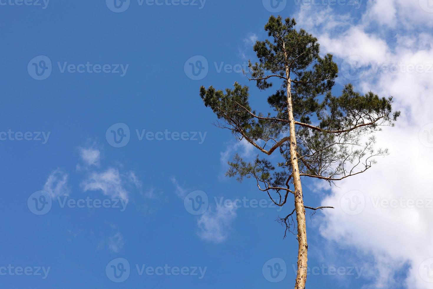 Beautiful one single tree in the forest standing hight against blue sky and white fluffy clouds, one pine tree on a background of blue sky. photo