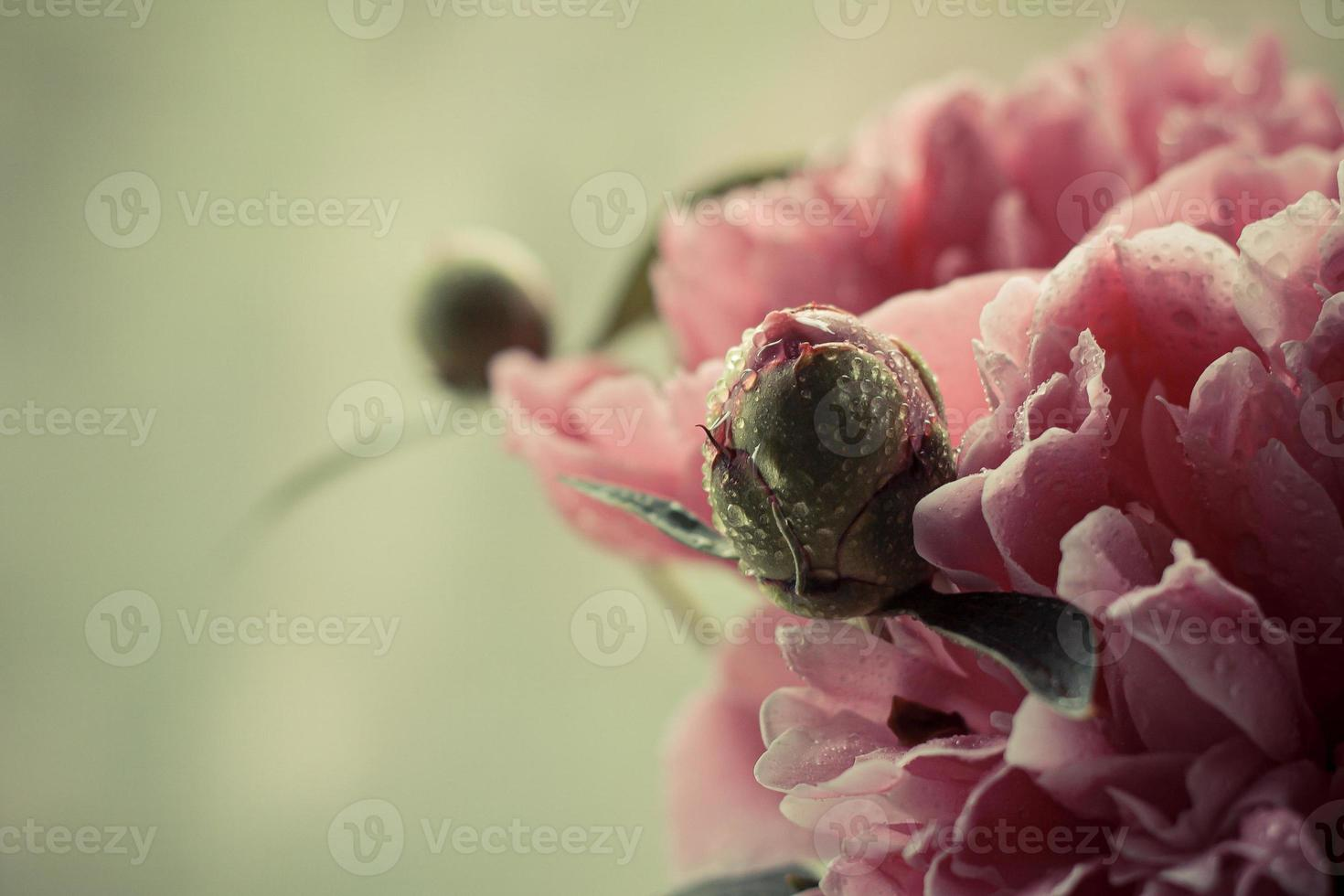 Delicate pink peony and bud photo