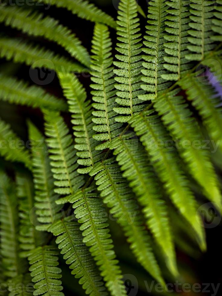 Wild growing ferns in the forest photo