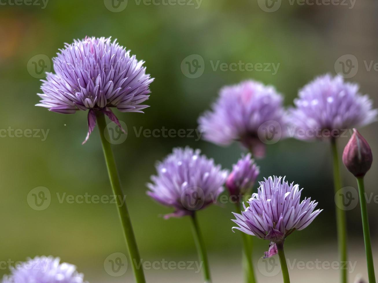 flores de cebollino morado foto