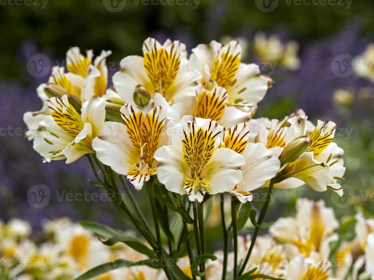 lirios peruanos de alstroemeria blanco y amarillo foto
