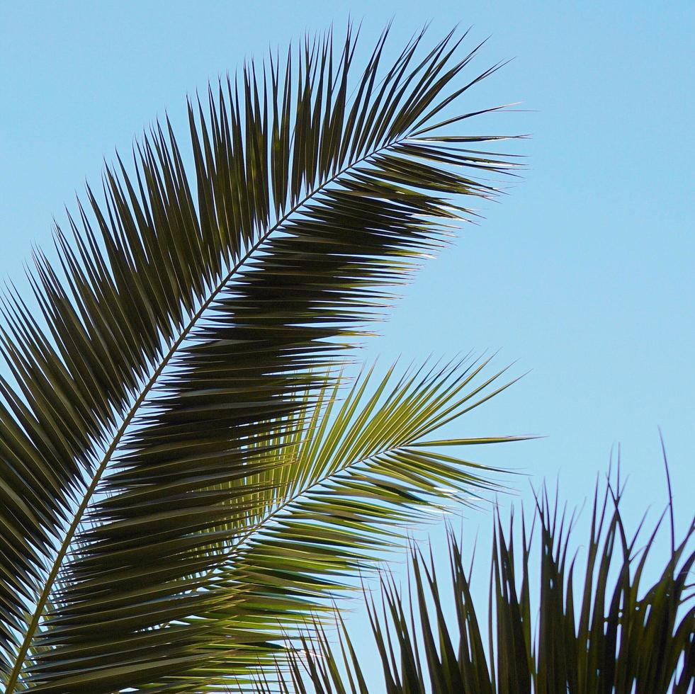 hojas de palmera y cielo azul en primavera foto