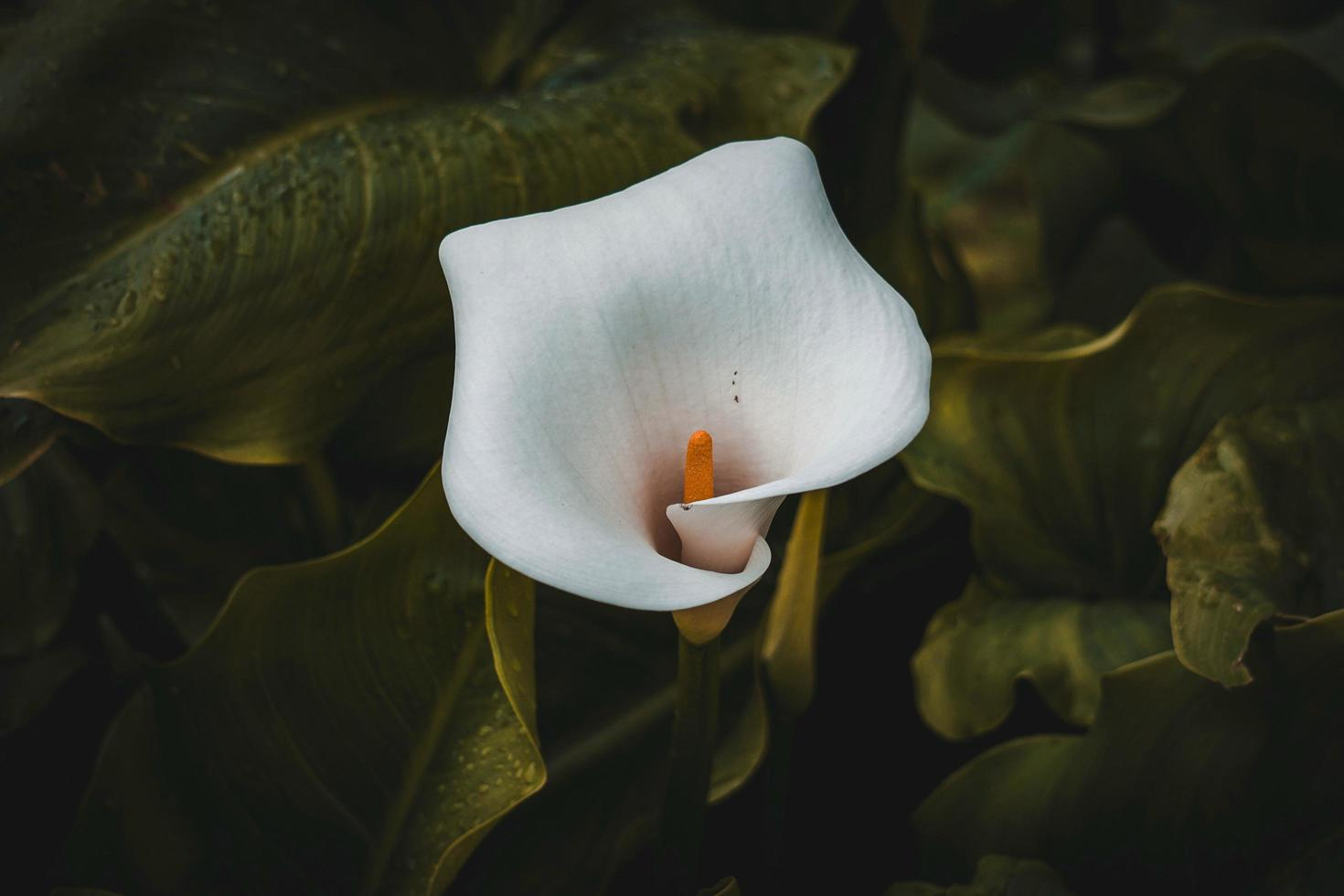 Beautiful lily calla flower in the garden in spring season photo