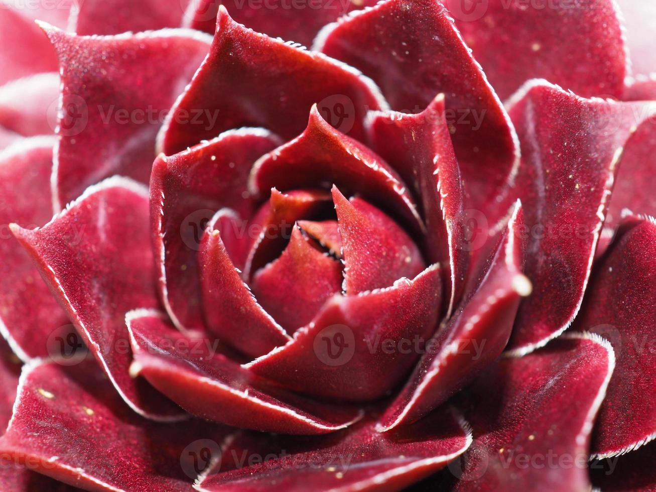 planta suculenta roja foto