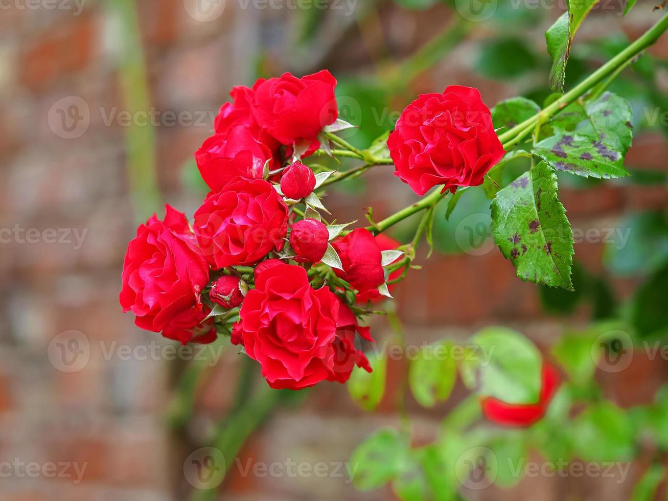 Rosas rojas floreciendo contra una pared de ladrillos foto