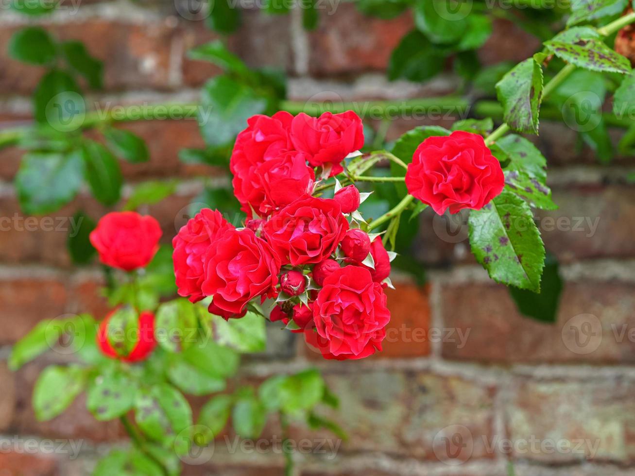 Trepando rosas rojas floreciendo contra una pared de ladrillos foto