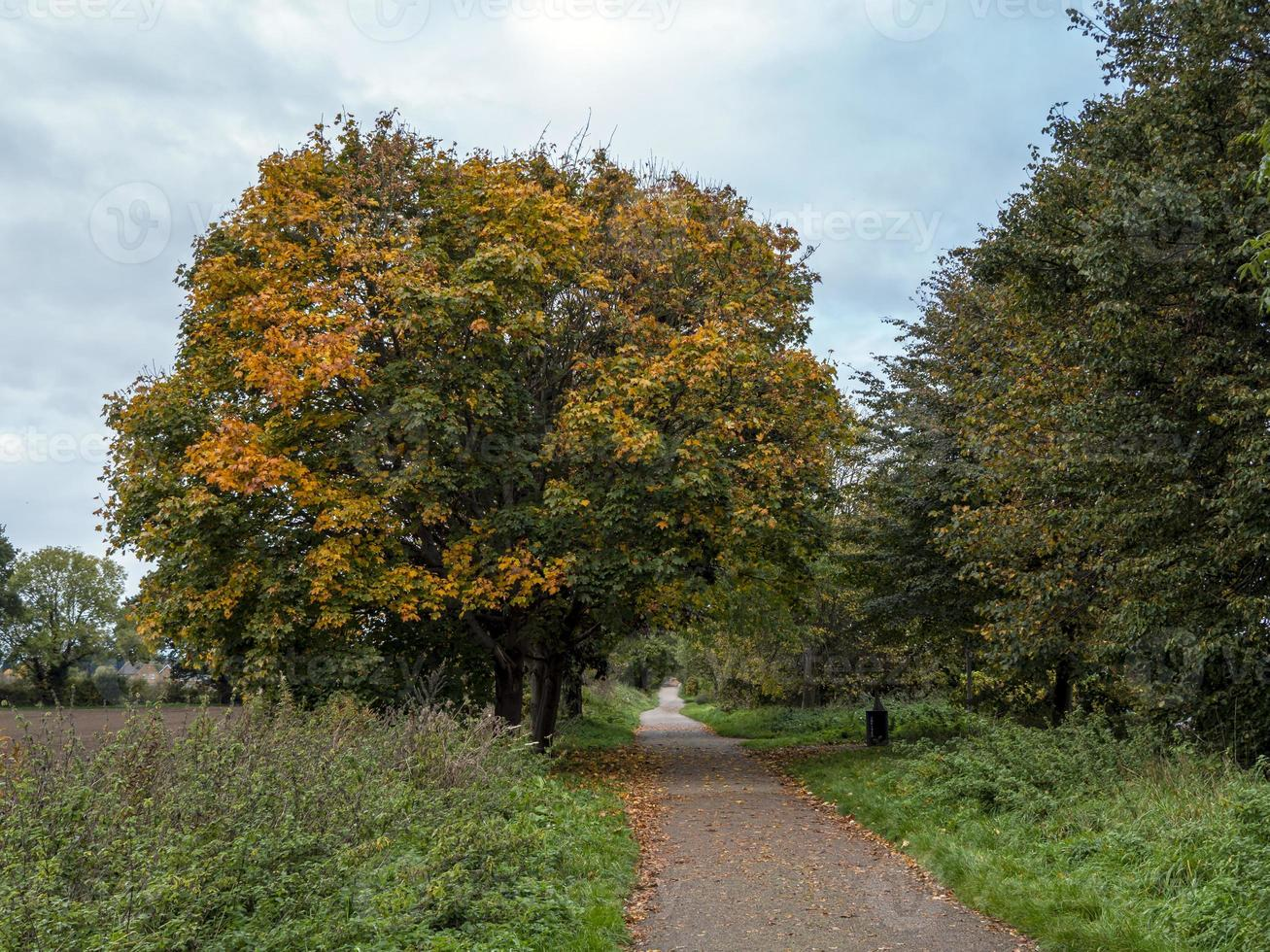 Sycamore tree with autumn foliage beside a footpath photo