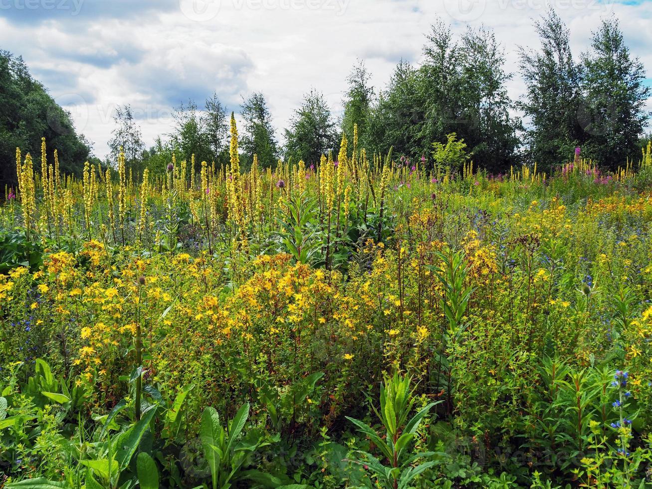 Wild yellow flowers photo