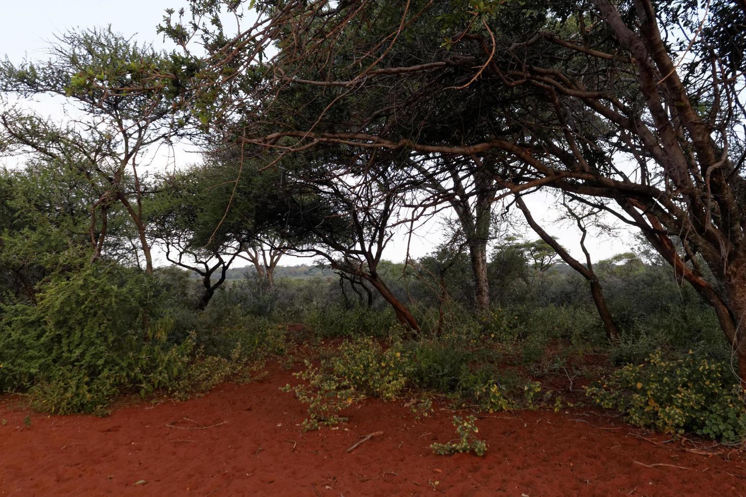 Acacia bushveld landscape photo
