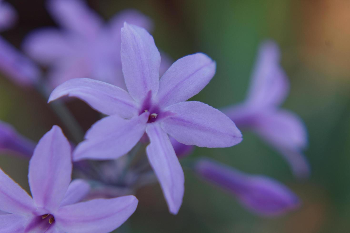 Light purple wildflowers photo