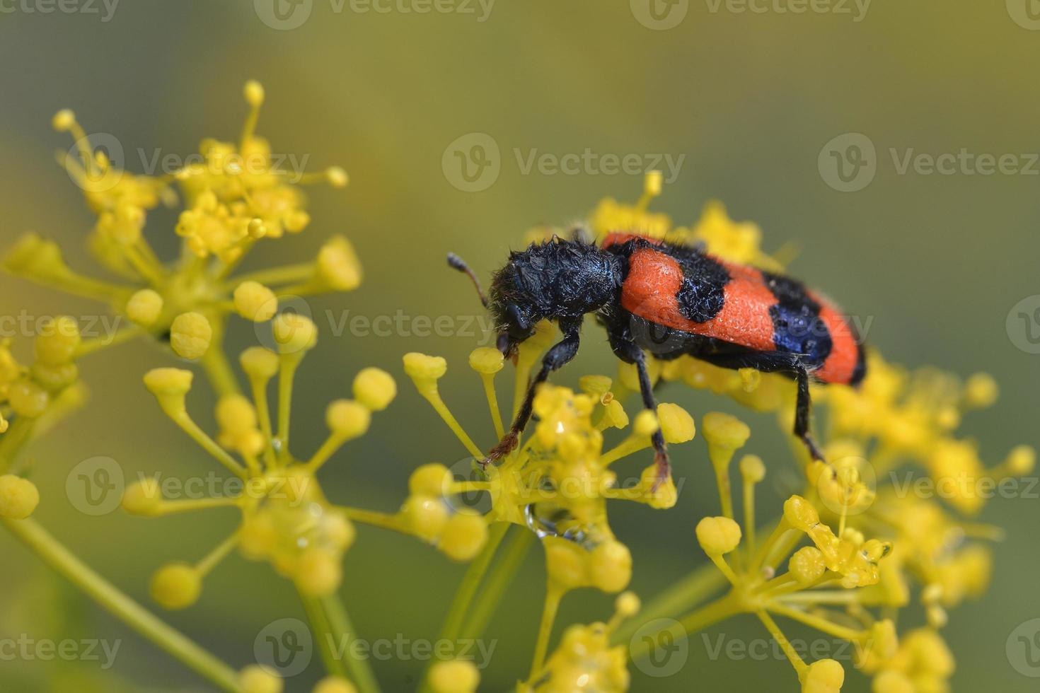 Trichodes is a genus of checkered beetles belonging to the family Cleridae, Greece photo