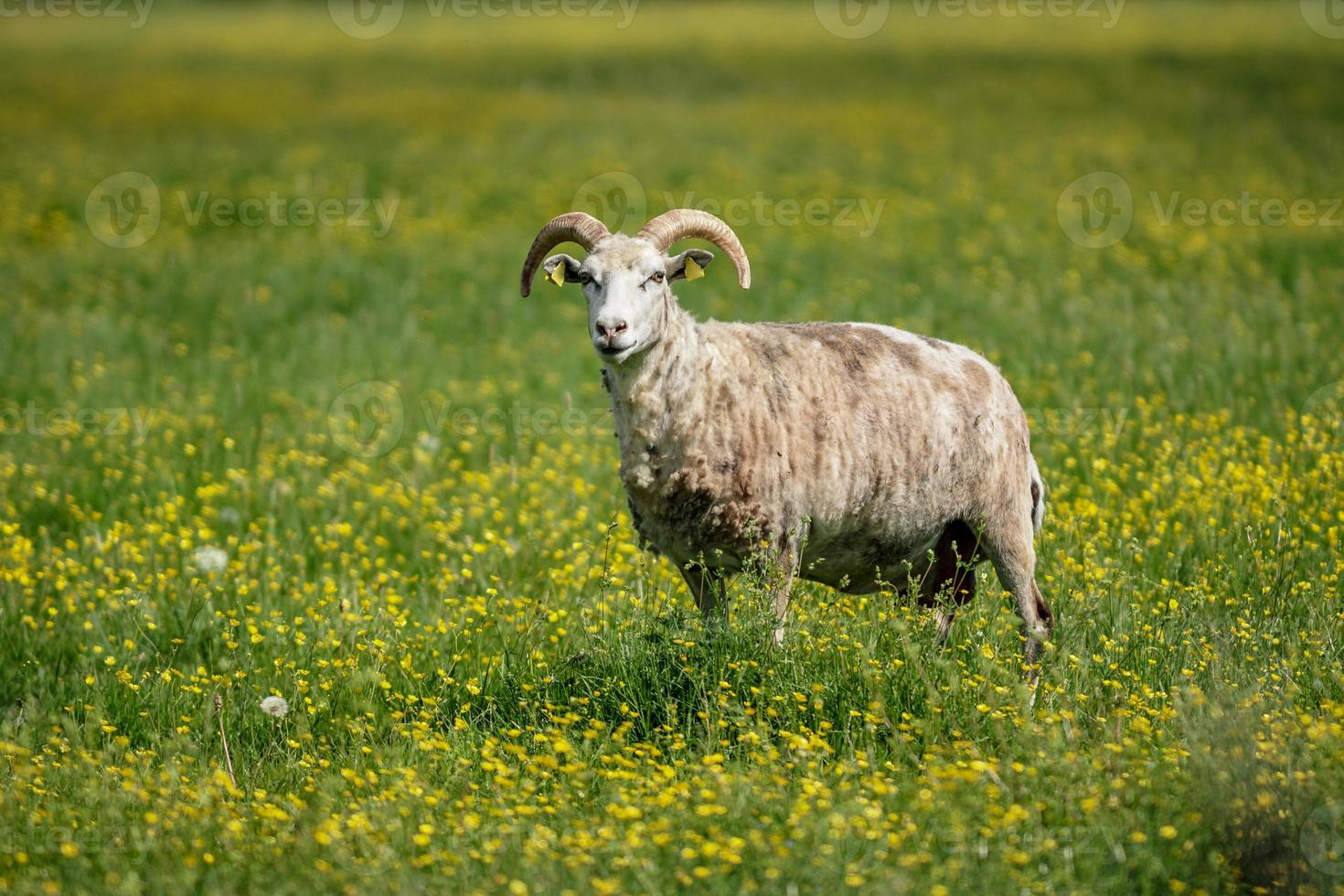 Sheep standing in a green field filled with yellow flowers photo
