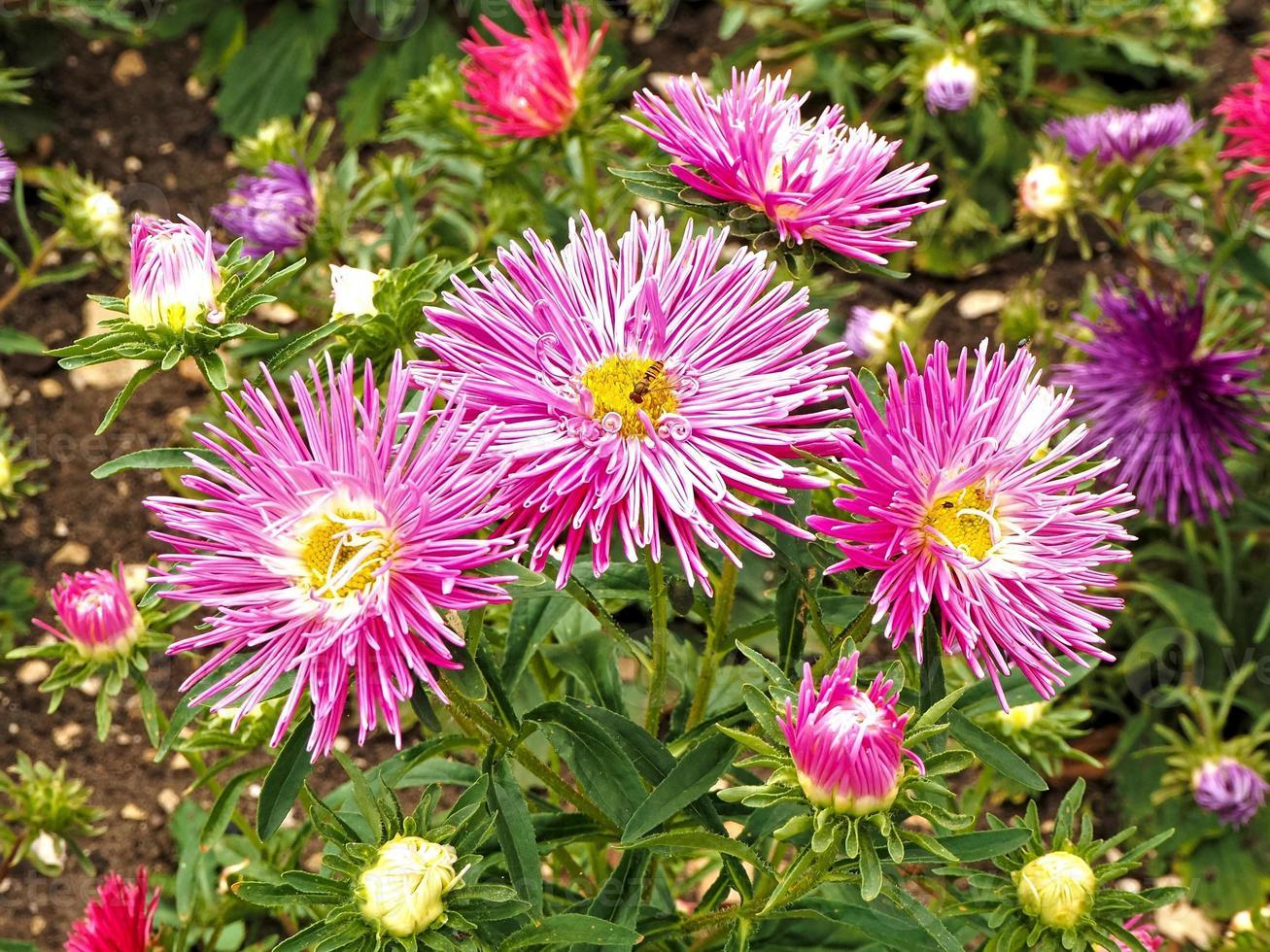 Pretty Chinese asters Needle Pink, Callistephus chinensis photo
