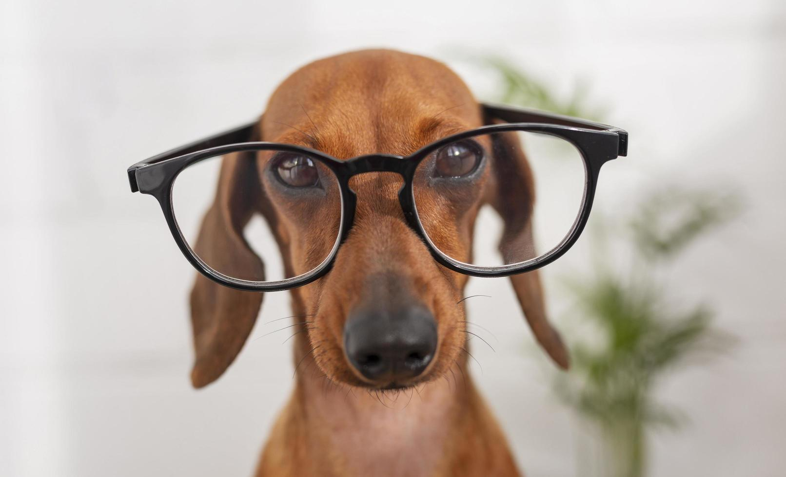 Cute dog wearing glasses photo