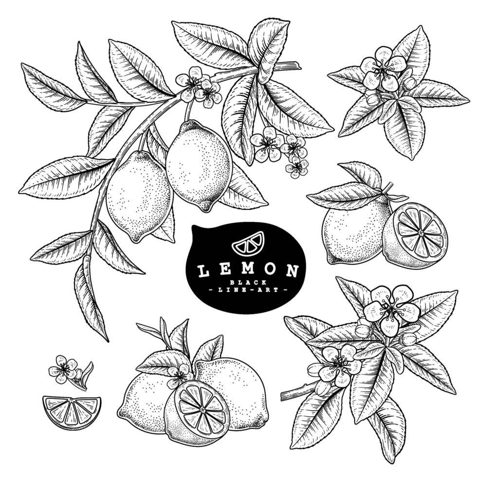 rama de limón con frutas boceto dibujado a mano y limón cítrico entero y conjunto decorativo de rodajas vector