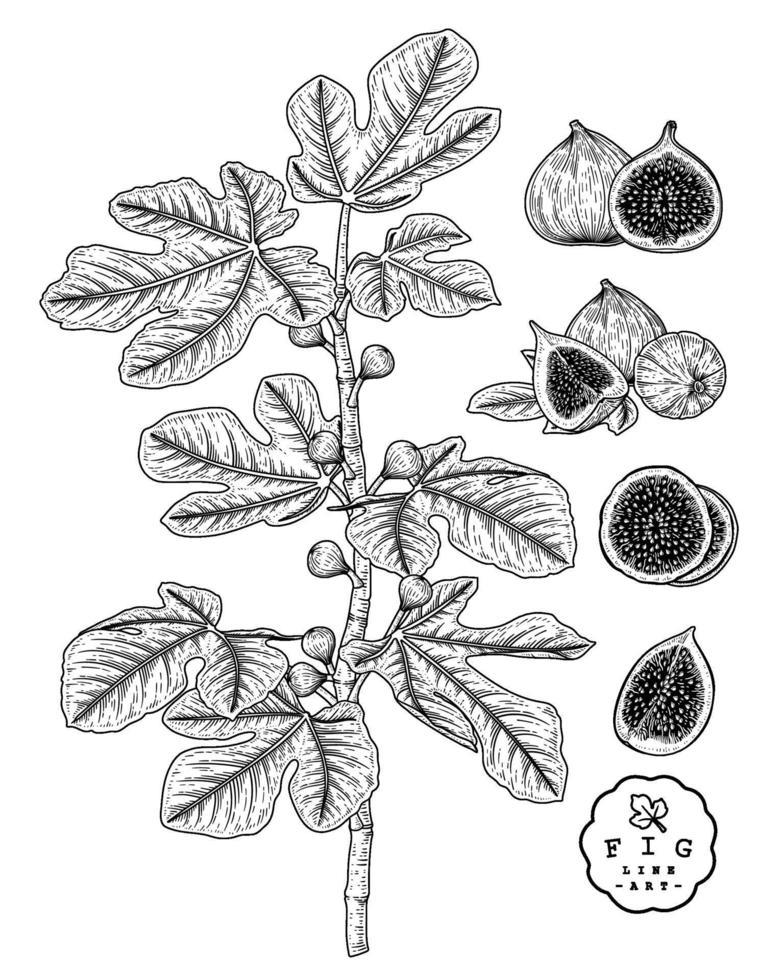 bosquejo botánico dibujado a mano de frutas de higo vector
