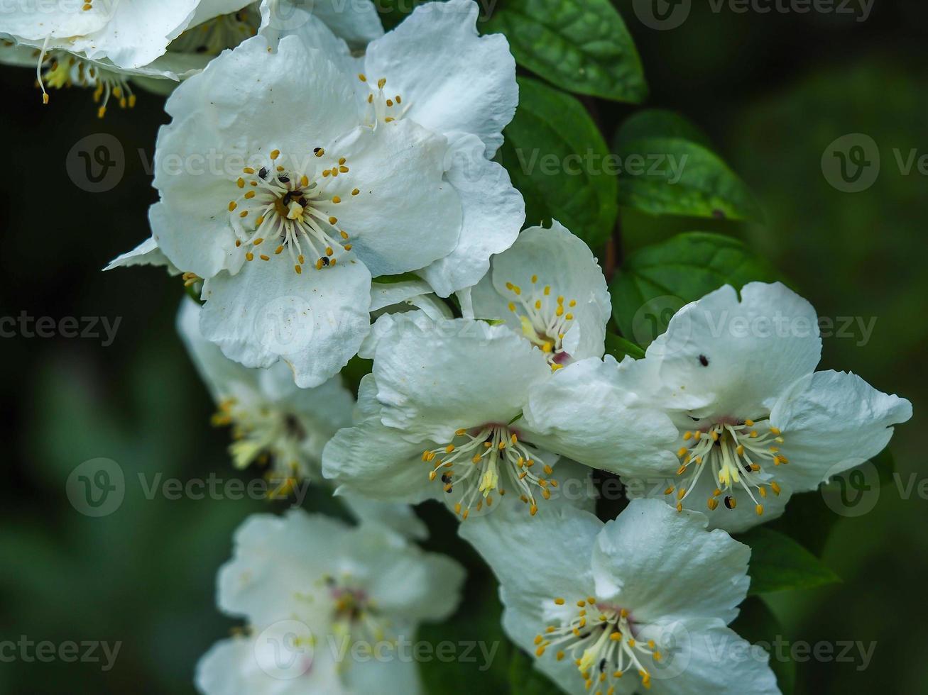 flor blanca en un dulce arbusto de naranja simulado, philadelphus foto