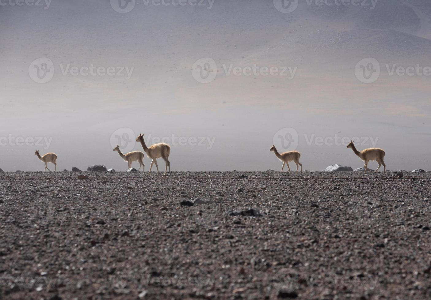 Vicuna  Wildlife animal on the Andes photo