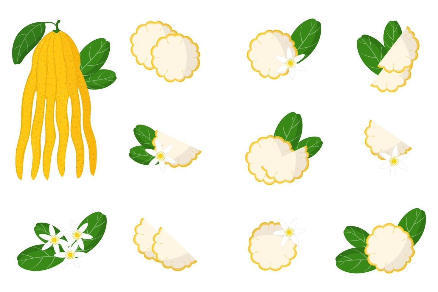Set of illustrations with buddha hand exotic citrus fruits, flowers and leaves isolated on a white background. vector