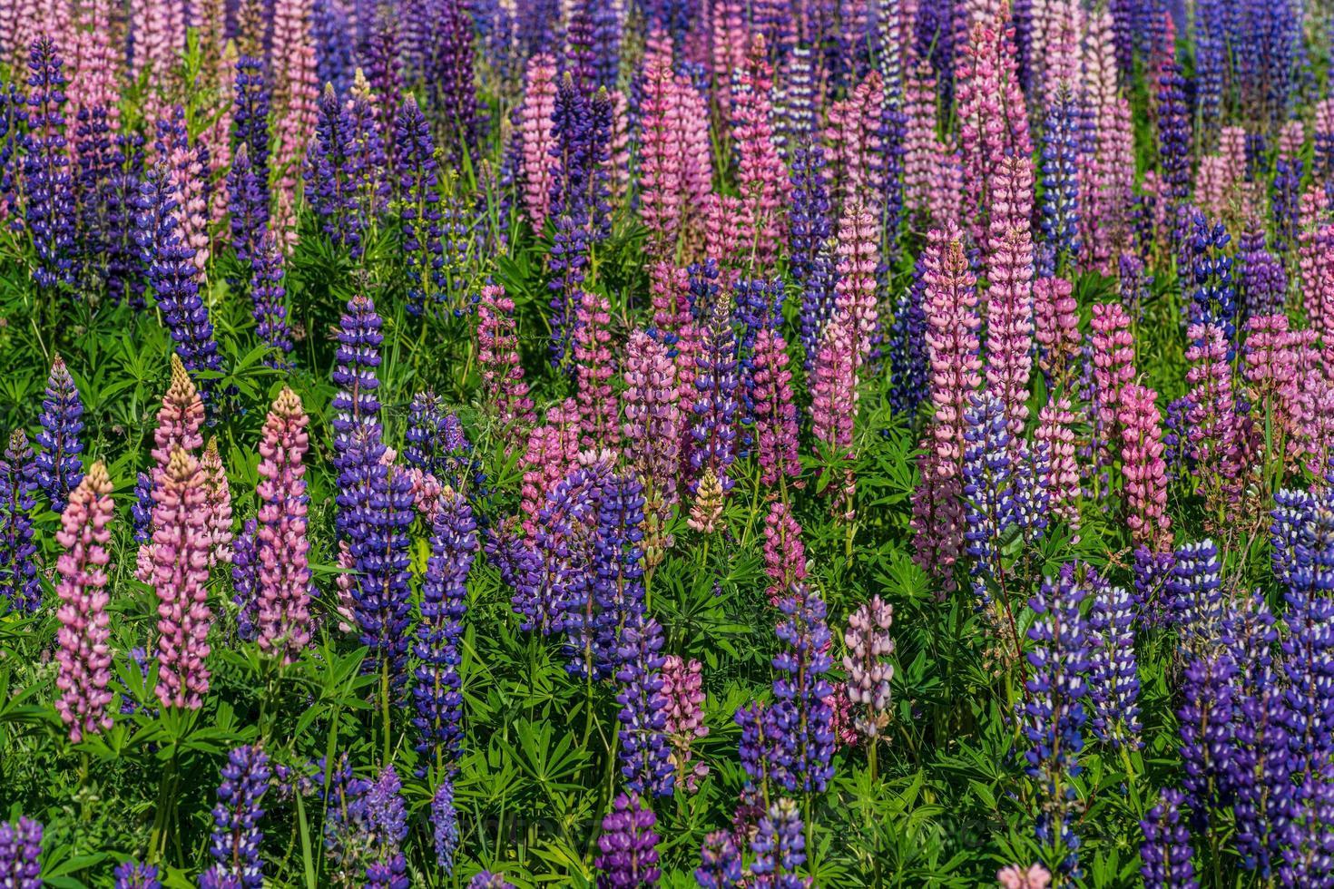 campo de coloridas flores de lupino en la luz del sol foto