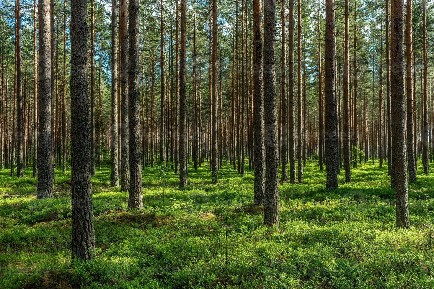 sol vespertino en un bosque de pinos foto