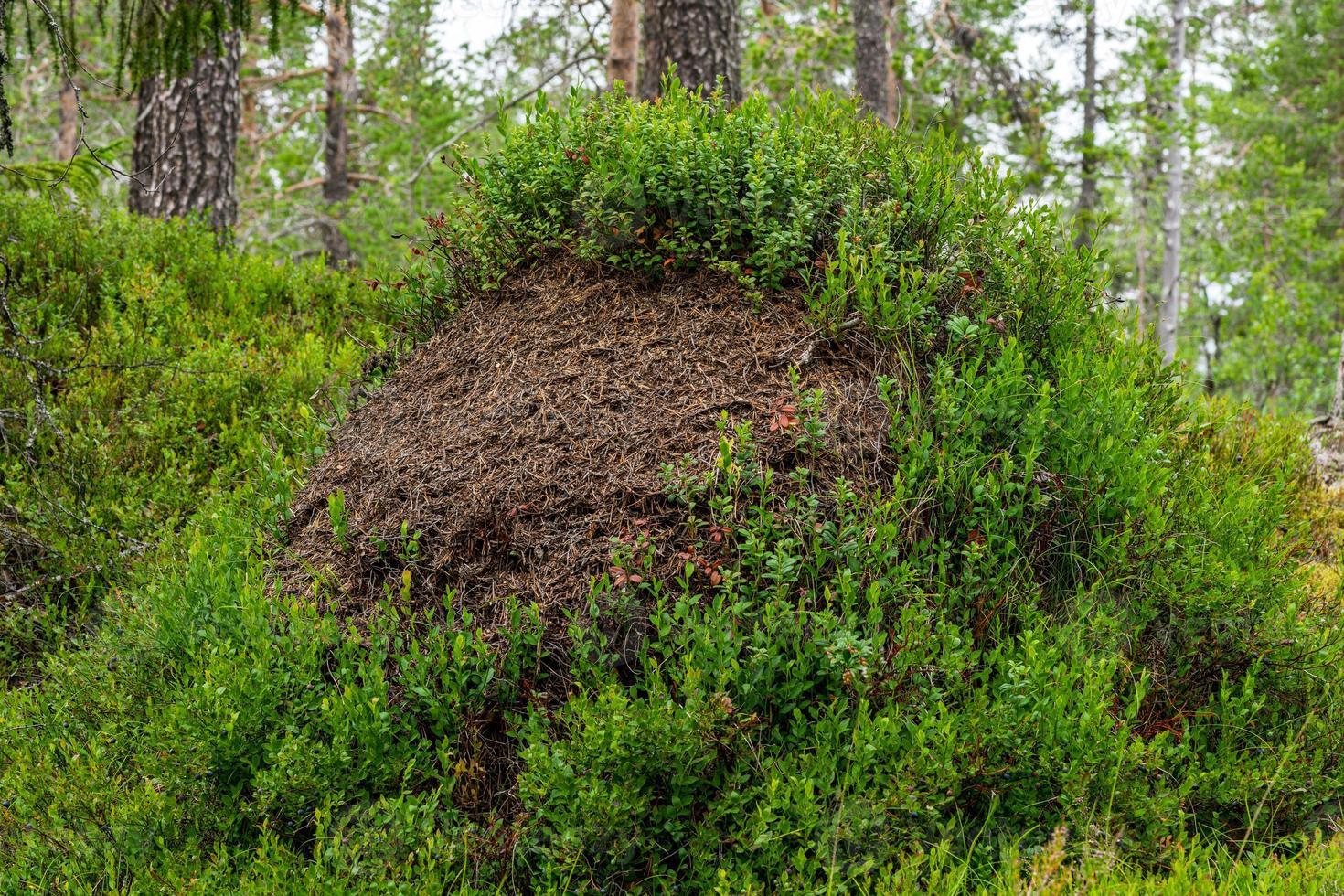 Cerca de un hormiguero cubierto con ramitas de arándanos foto
