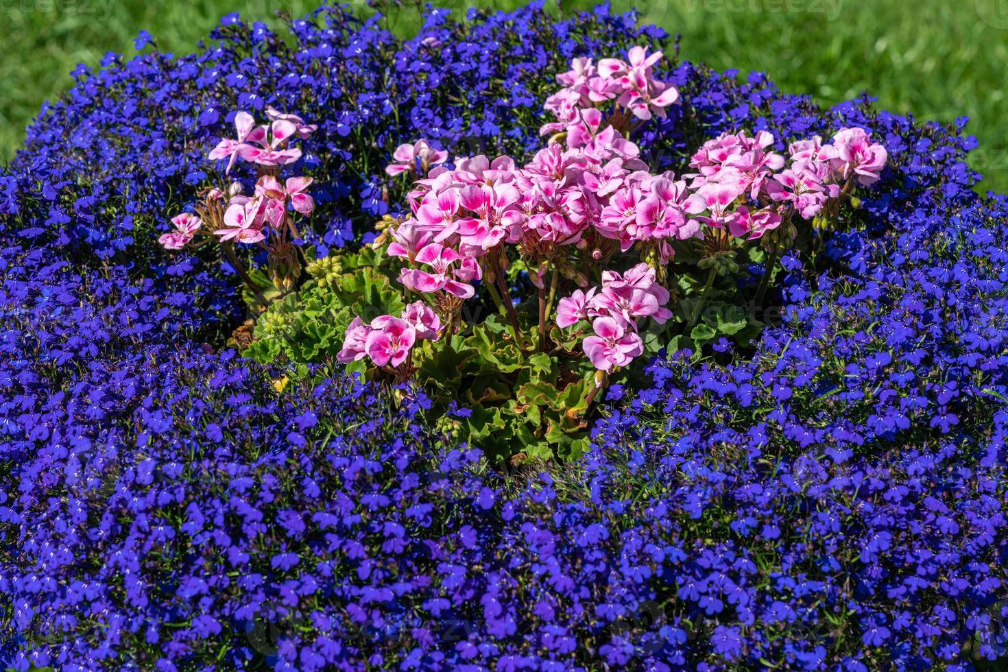 Cama de flores de colores con flores rosas y azules foto