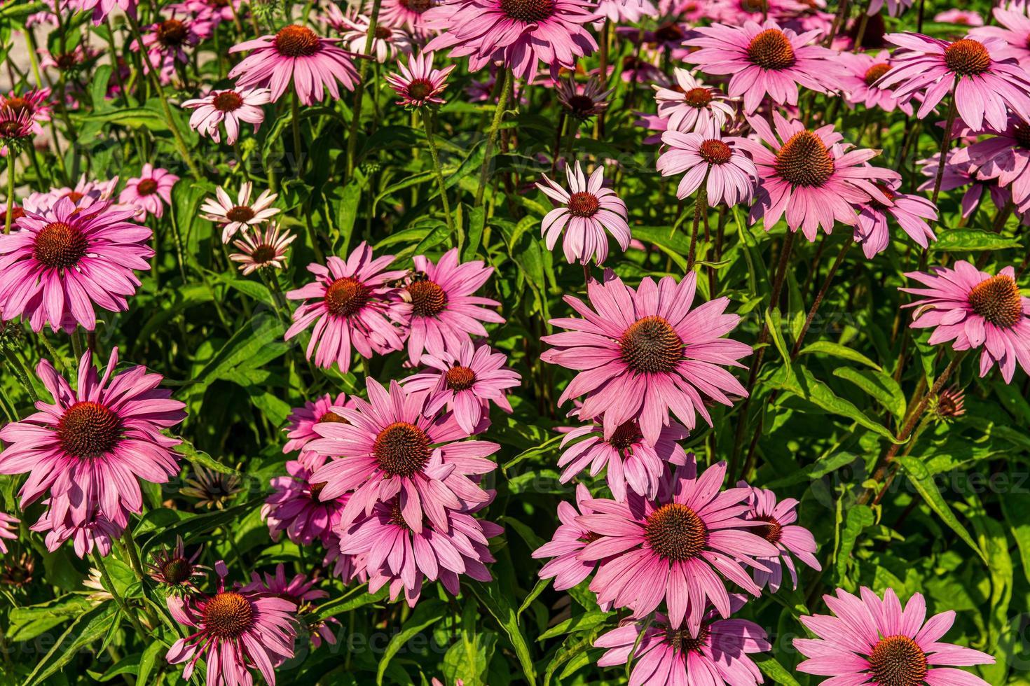 grupo de coneflowers rosas foto