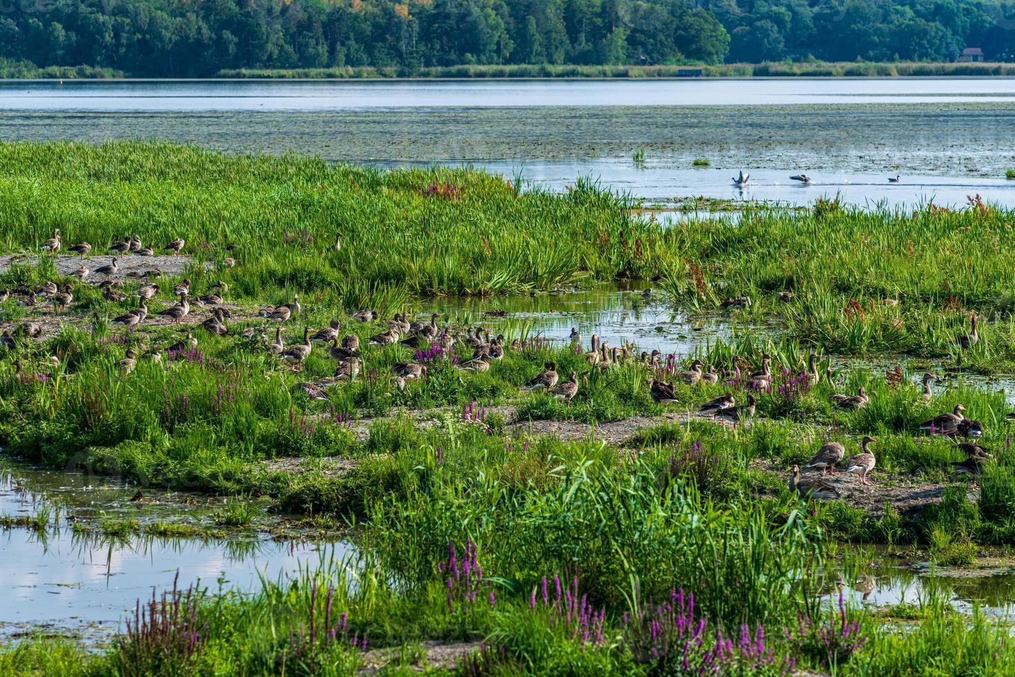 Gran grupo de aves gansos grises que anidan en la luz del sol de primavera foto