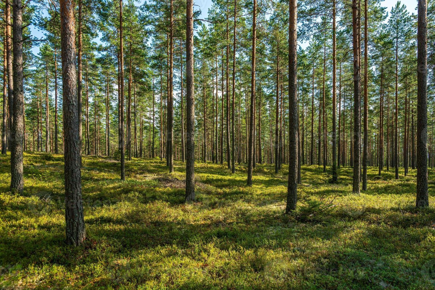 Vista de verano de un hermoso bosque de pinos en Suecia foto