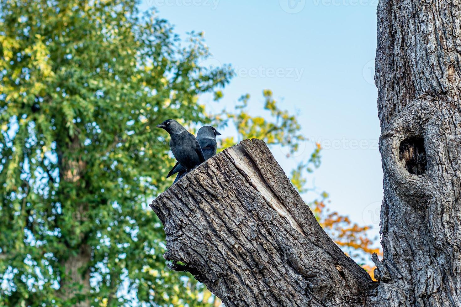 Dos pájaros jack daw sentados en un gran tronco de árbol foto